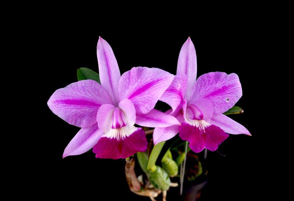 Cattleya Love Knot
