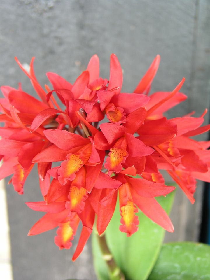 Cattlianthe Cluster Fire