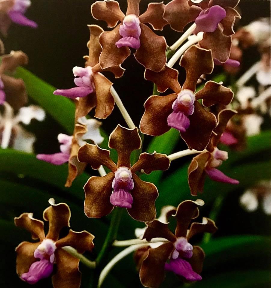Orchidroots Vanda Limbata Nambaryn Enkhbayar The Malayan Orchid Review