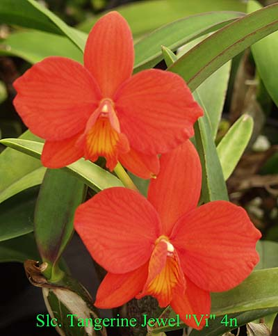 Cattleya Tangerine Jewel