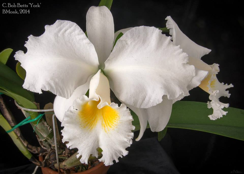 Cattleya Bob Betts