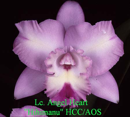 Laeliocattleya Angel Heart