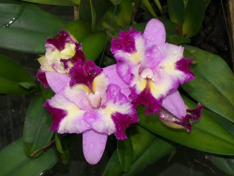 Cattleya Mari's Song