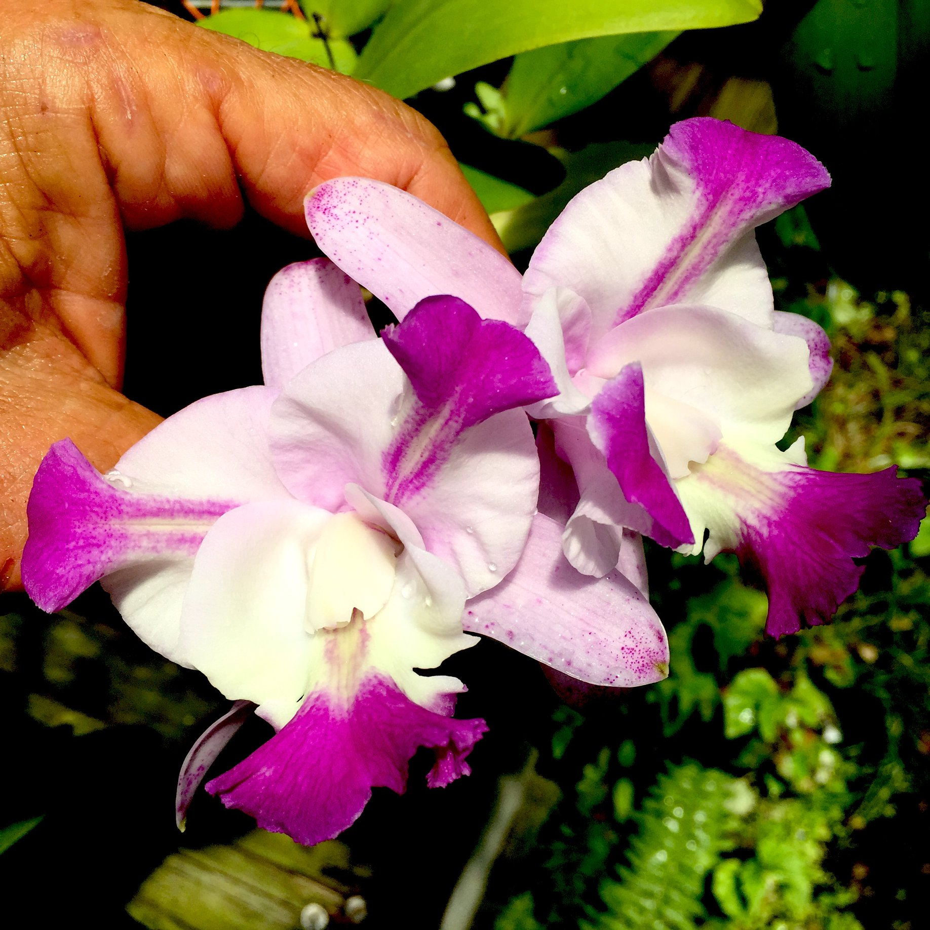 Cattleya Cherry Chip