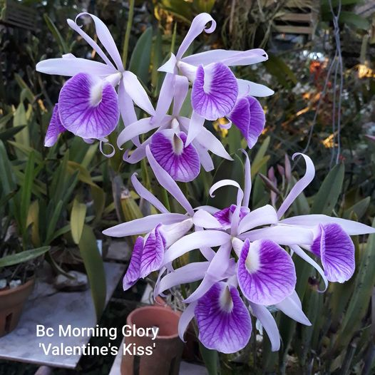 Brassocattleya Morning Glory