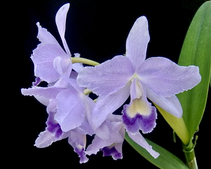 Cattlianthe Ariel