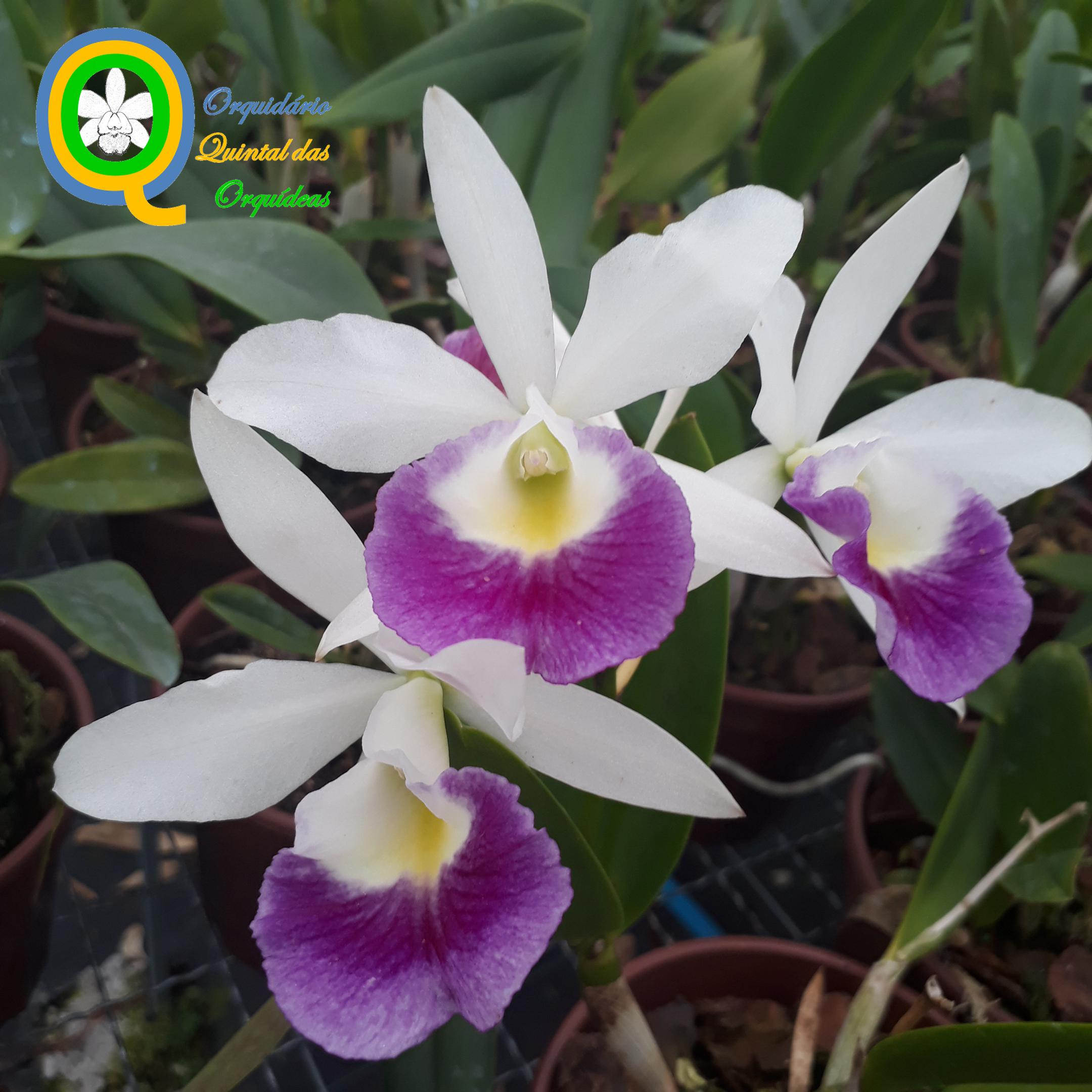 Cattleya Hawaiian Star