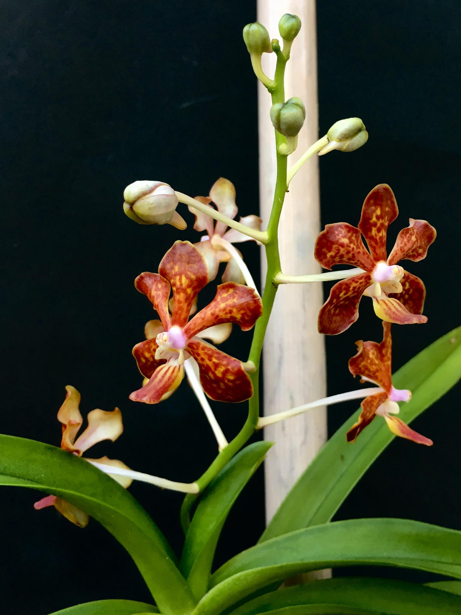 Orchidroots Vanda Limbata