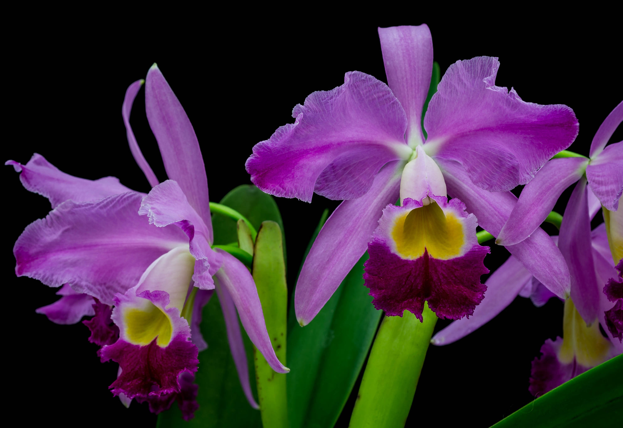 Cattleya wallisii
