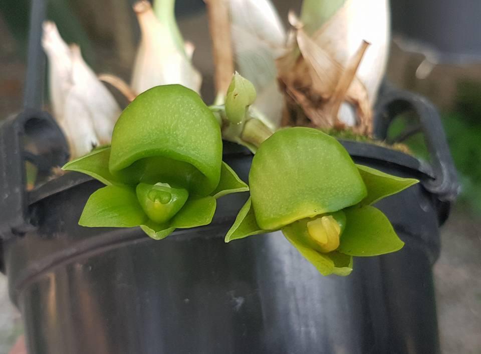 Catasetum Kleberianum Female And Hermaphrodity Form Ulisses Ferreira